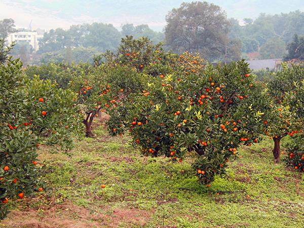 与湖北省宜昌柑橘园 签订微生物菌肥粉剂800吨