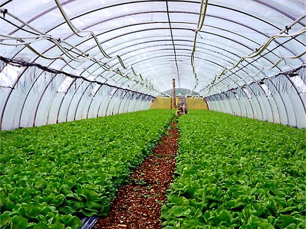 我公司与山西蔬菜种植基地签订1200吨万达彩票登录订单